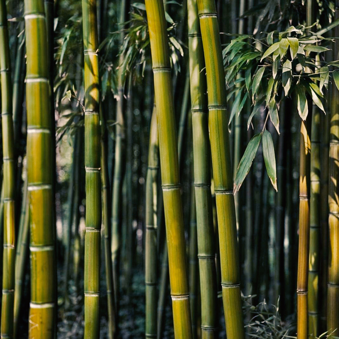 Supplier of Bamboo