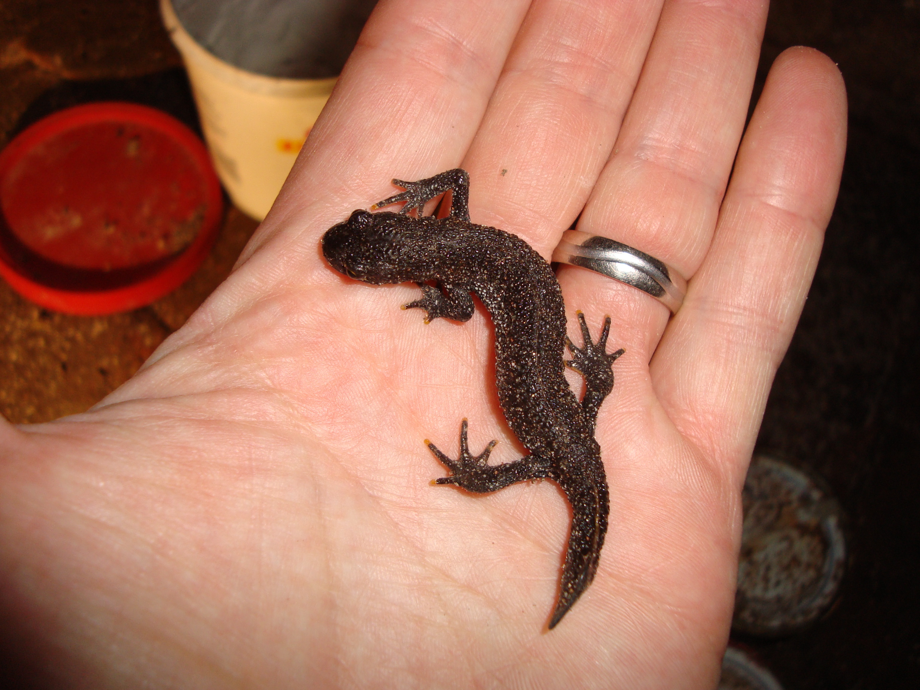Great Crested Newt Surveys & Reports