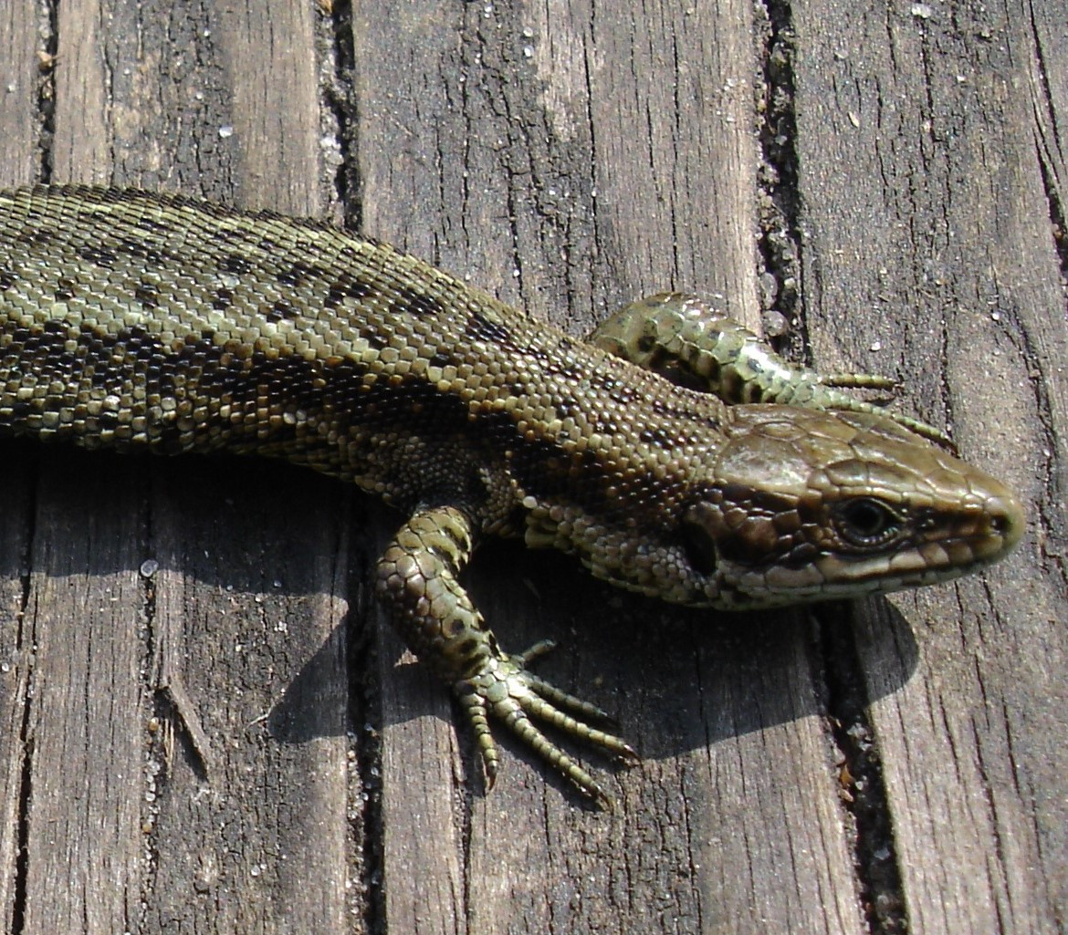 Reptile Surveys & Reports