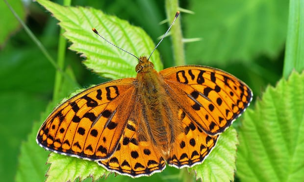 National Trust to create UK sanctuary for endangered butterfly