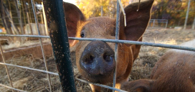North Carolina, Duke University look to pig farms to generate electricity from biogas