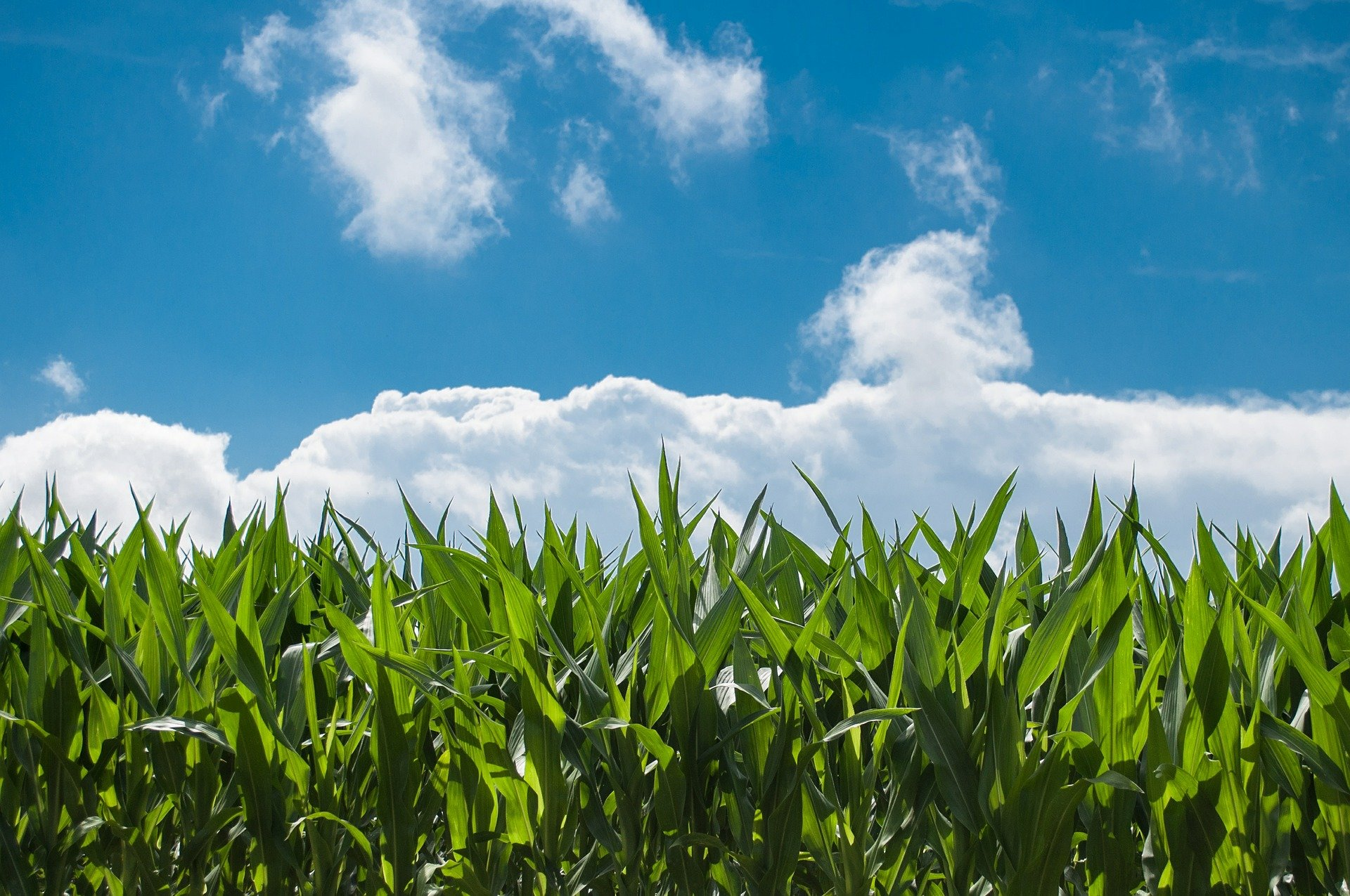 Changing temperatures are helping corn production in US — for now