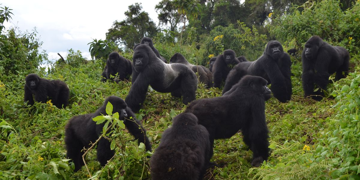 Mountain Gorillas Come Back From Edge of Extinction in Major Conservation Win