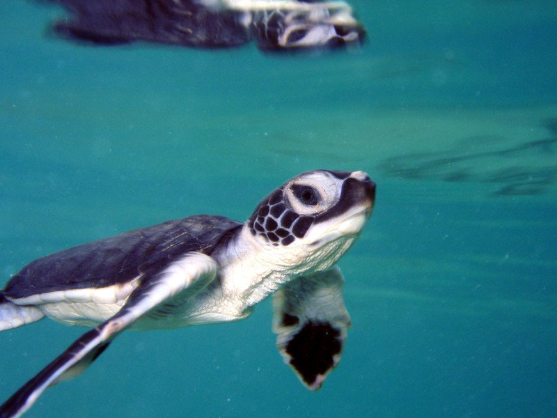 Sea Turtle Populations Soared by 980% After Legal Protections: Report