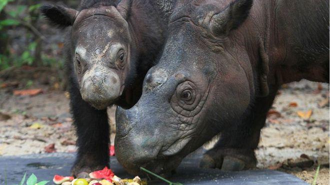 Malaysia's last known Sumatran rhino dies!