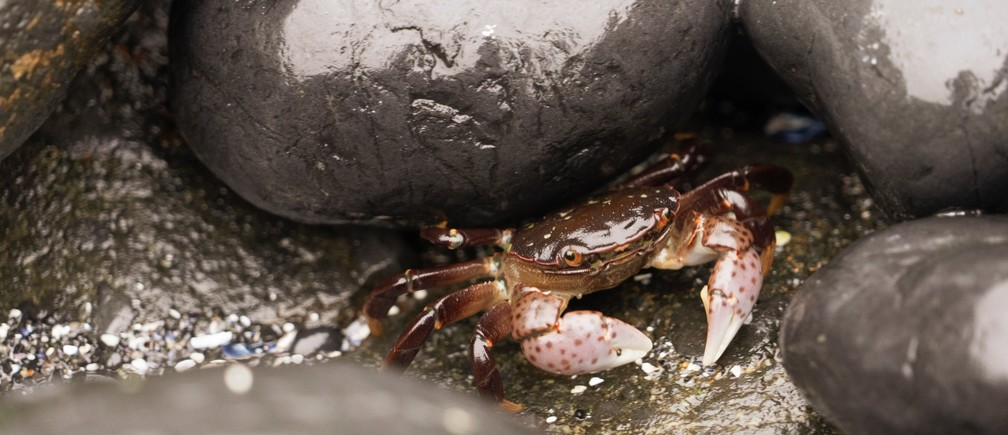 Carbon emissions are raising the acidity of the Pacific Ocean, leaving Dungeness crabs defenseless