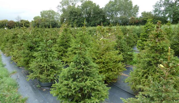 London's Christmas Tree Rental Provides A Solution That Solves The Real VS. Artificial Tree Debate